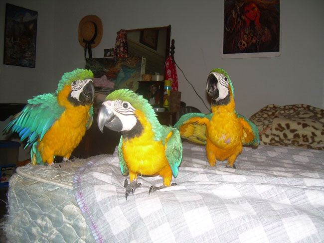 Baby Blue Macaw