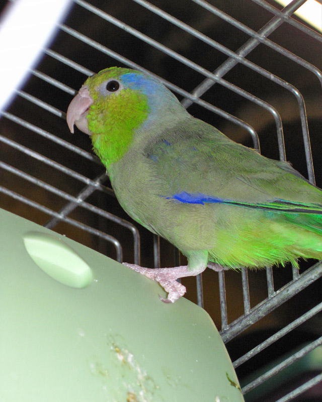 Parrotlet Babies Available at Parrotise Farm a hobby Exotic Bird